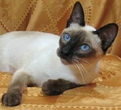 Thai or Old-Style Siamese kittens in California, Sarsenstone Cattery