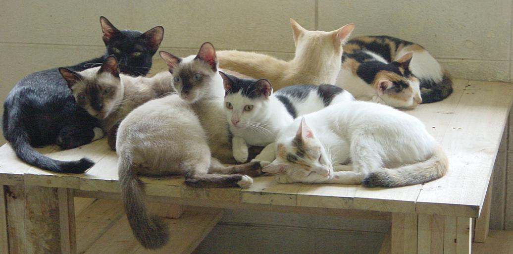 Photo Showing Native cats of Thailand